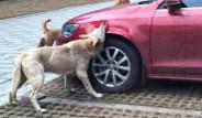 Çin'de Köpekler Arabayı Parçaladı