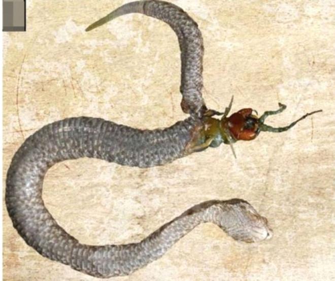 Yılanının Midesinden Bir Kırkayak Başı Çıktı