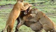 Dişi Aslan Erkek Aslana Saldırdı