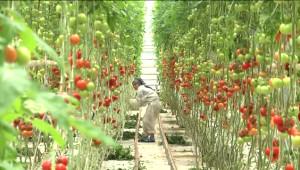 Harran'da Hedef 1 Milyon Ton Domates İhracatı
