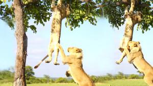 Ağaçta Kalan Aslanı Kardeşini Kurtardı