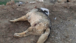 Beldeye İnen Aç Kurdu Kangal Köpekleri Boğdu