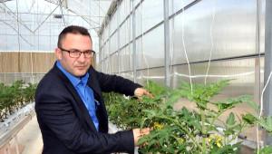 Sivas'ta Jeotermal Serada Domates Üretilecek