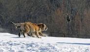 Kaplanlar Canlı Hayvanlarla Besleniyor