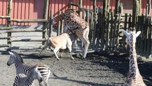 Antilop Yıllarca Beraber Yaşadığı Zürafaya Saldırdı