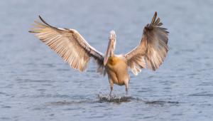 İzmir'de Flamingolardan Sonra Pelikanlar İçin de Ada Yapılacak