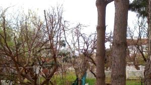 İki Komşunun Çam Ağacı Davası Sil Baştan