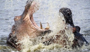 Su Aygırlarının Dehşete Düşüren Kavgası