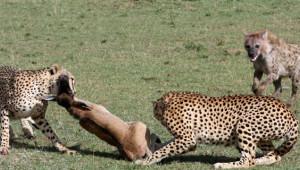 Sırtlanlar Yavruyu Kapmak için Çıtalara Saldırdı