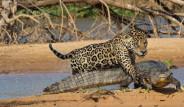 Jaguar Timsaha Saldırdı