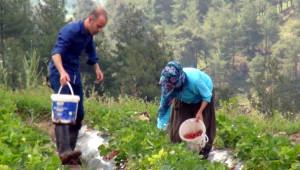 Yayladağı Çiftçisinin Yeni Gözdesi Organik Çilekte Hasat Başladı