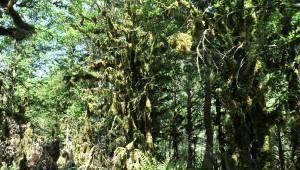 Kaçkar Dağları'nda Şimşir Ormanları Kuruyor
