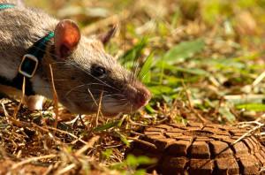 Binlerce İnsanın Hayatı Bu Dev Sıçanlara Bağlı