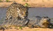 Jaguar ile Timsahın Kıyasıya Mücadelesi