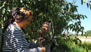 Meyve Sululuk Vişne Sezonu 1,5 Liradan Açtı