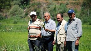 Tosya Pirinci Hastalık Tehlikesi ile Karşı Karşıya