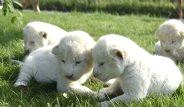 2 Haftalık 4'üz Yavru Beyaz Aslanlar