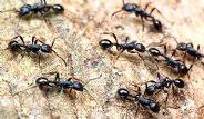 Karıncalar Nasıl Uzaklaştırılır?