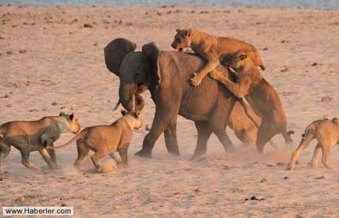 Dişi Aslanlar File Saldırdı Foto Galerisi