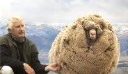 Kırpılmamak İçin 6 Yıl Boyunca Kaçan Koyun