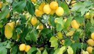 Limonun Mucizevi Faydaları Saymakla Bitmiyor