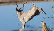 Sırtlanlar Arasında Kalan Antilop Zekası Sayesinde Kurtuldu