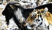 Sibirya Kaplanı, Yemesi Atılan Keçiyle Arkadaş Oldu