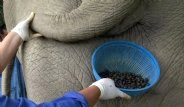 Dünyanın En Pahalı Kahvesi Fil Dışkısından Üretiliyor
