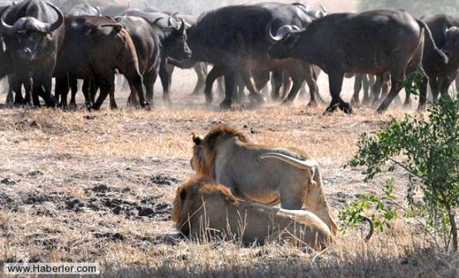 Buffalo Sürüsü, Yavruyu Kapan Aslanları Pişman Etti