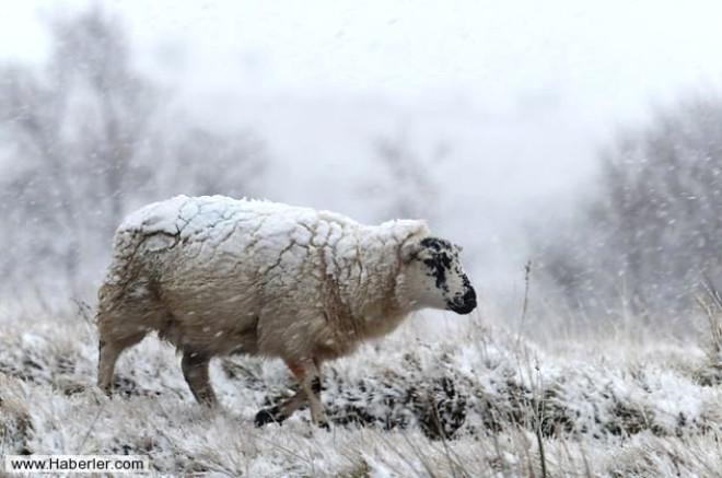 Galler'de Aşırı Soğuk Hayvanları Dondurdu