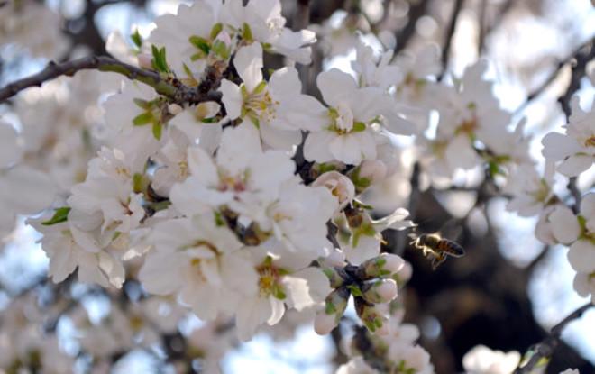 Ağaçlar Çiçek Açtı, Arılar İş Başı Yaptı