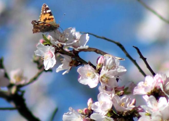Kahramanmaraş'ta Badem Ağaçları Çiçek Açtı