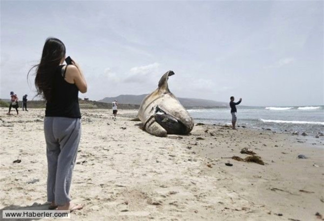 Korkutan Görüntü! Dev Gri Balina Kıyıya Vurdu