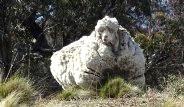 5 Yıl Kırpılmayan Koyundan 40 Kilo Yün Çıktı
