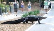 Florida'nın En Büyük Derdi Timsahlar!