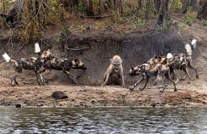 Afrika'nın Vahşi Köpekleri Sırtlanı Köşeye Sıkıştırdı