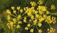 Doğal Viagra Etkili Bitki: Çakşır Otu