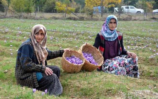 Karabük'te Safran Ekimine Teşvik