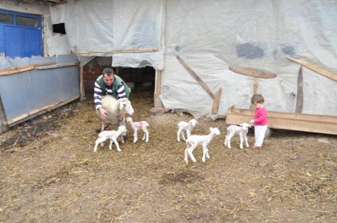 Malkara'da Merinos Cinsi Koyun Bir Defada Beşiz Doğurdu