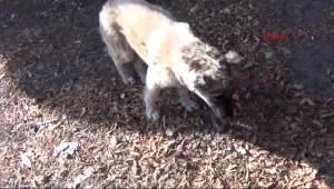 Ayağı Kırık Köpek Yavrusunun İç Acıtan Dramı