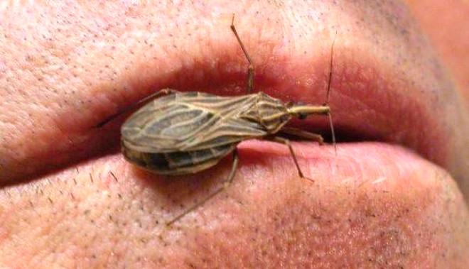 Ölümcül Hastalığa Sebep Olan Öpüşme Böcekleri Hakkında 18 Bilgi