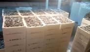 Kastamonu'da 1 Gecede 500 Ton Hamsi Avlandı