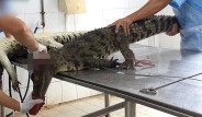 Vietnam'da Çanta Yapmak İçin Canlı Timsahları Katlettiler