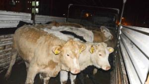 Genç Çiftçilere 102 Büyükbaş Hayvan Teslim Edildi