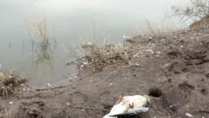 Gölet Suyunu İçen Hayvanların Telef Olduğu İddiası