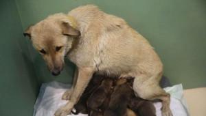 Tedavi İçin Getirilen Sokak Köpeği, Annesiz 9 Yavruya Hayat Verdi