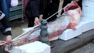 Samsun'da 200 Kiloluk Dev Yayın Balığı Yakalandı