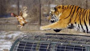 Çin'de Vahşet! Kaplanlara Canlı Tavuk Atıp Turistlere İzletiyorlar