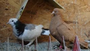 Türkiye'nin Nadide Güvercinleri Bursa'da Sergilenecek