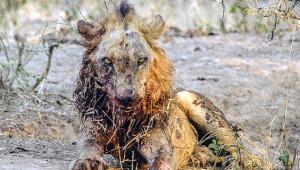 Bufalo Kendisine Saldıran Aslanın Karizmasını Yerle Bir Etti